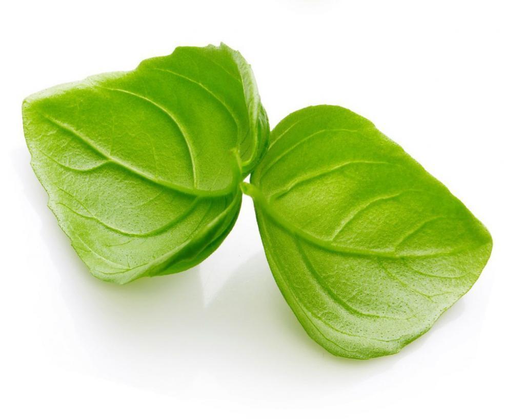 Hydroponik pflanze Basilikum