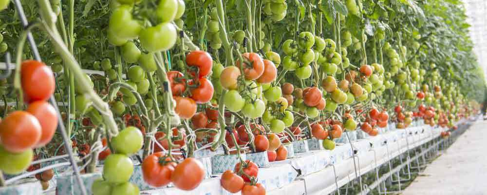 Hydroponik Tomaten farm