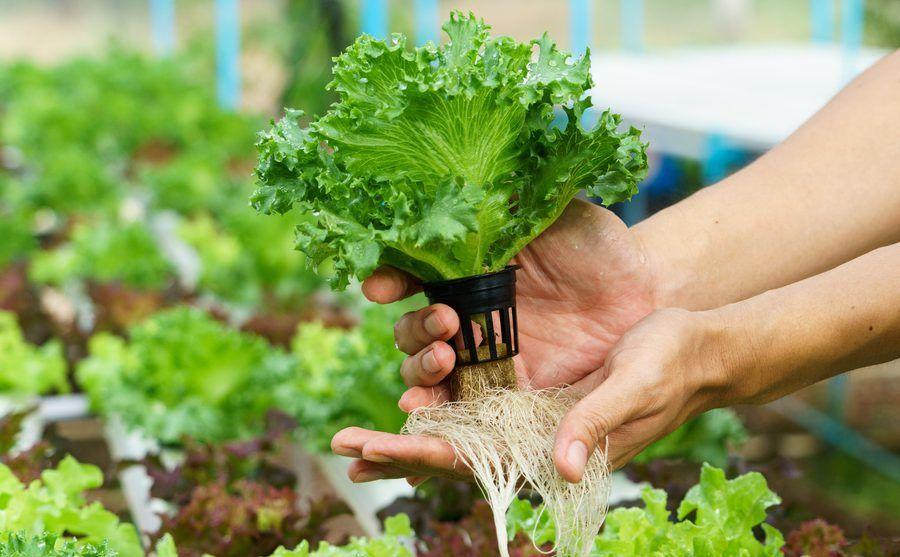 hydroponischer Salat und seine Wurzeln