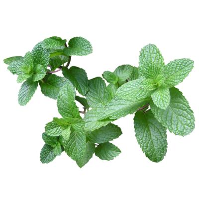 Pflanze Minze Hydroponik