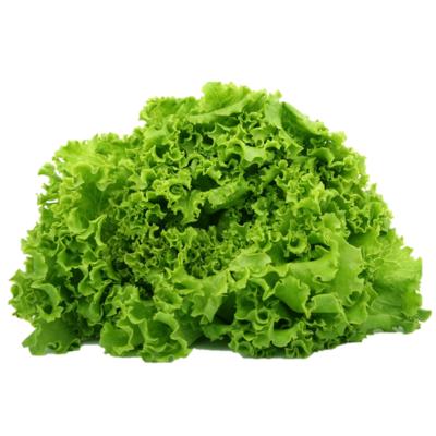 Hydroponik pflanze Spinat