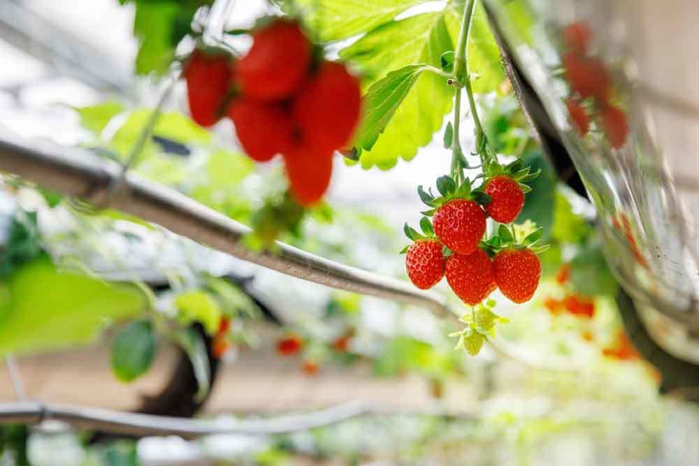 Erdbeeren in einem Hydroponik System