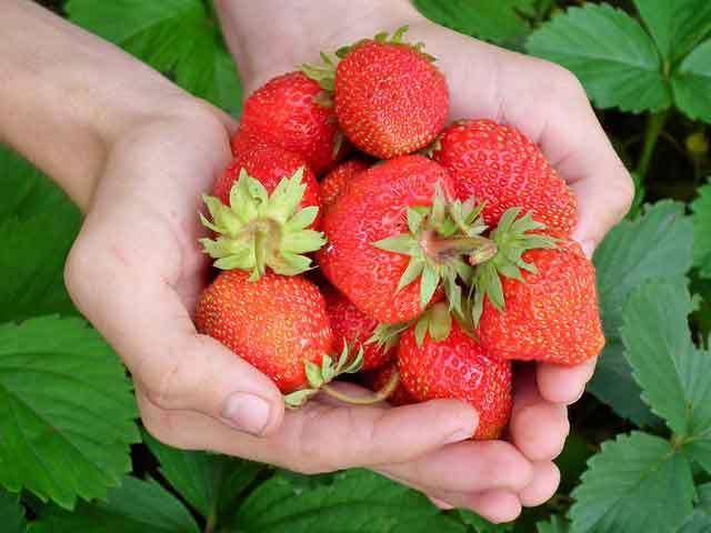 geerntete Erdbeeren in Hand