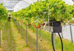 Hydroponik Erdbeeren im Tropfsystem