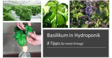 hydroponischer Basilikum in Hydroponik