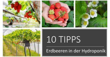 Erdbeeren in Hydroponik