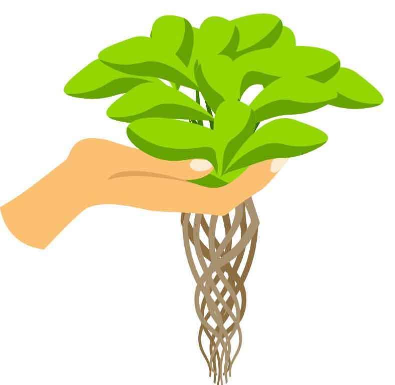 hydroponic pflanze mit wurzeln bei guten hydroponik dünger