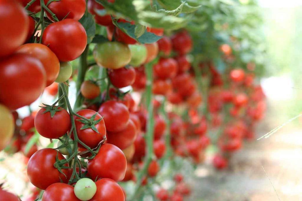 tomaten in hydroponik