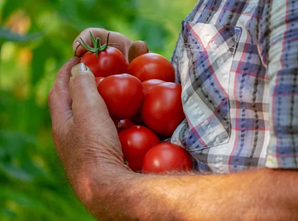 Ernte von Tomaten