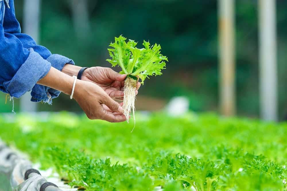 hydroponic-salat