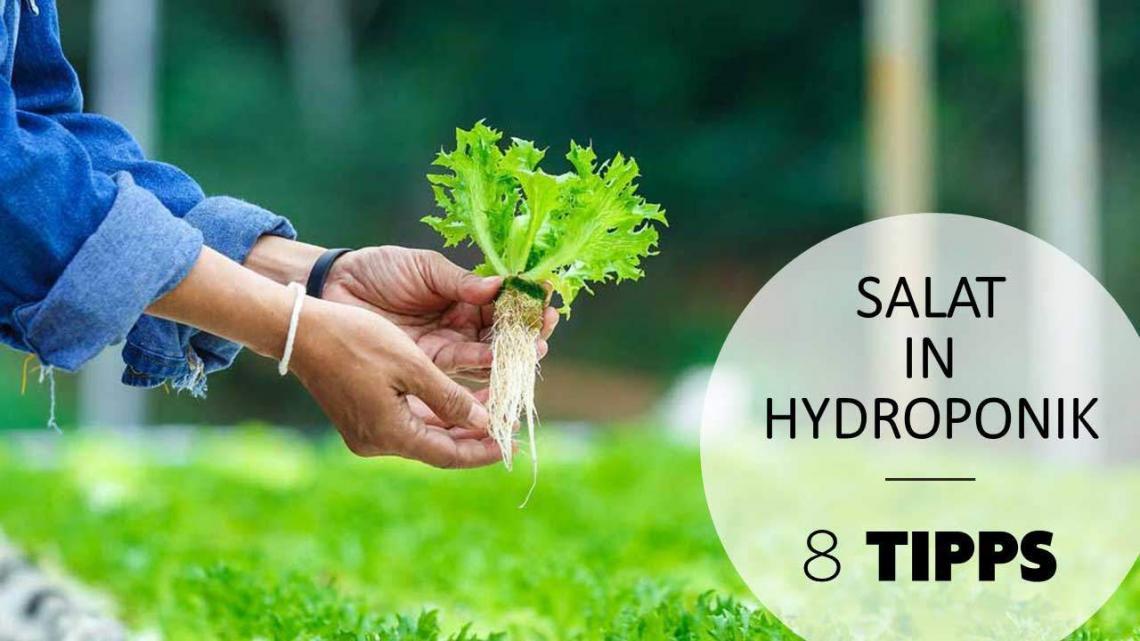 salat in hydroponik
