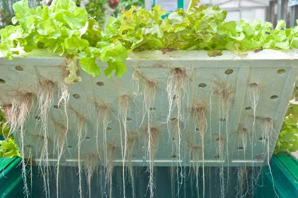 wurzeln tiefwasserkultur von unten salat mit styropor
