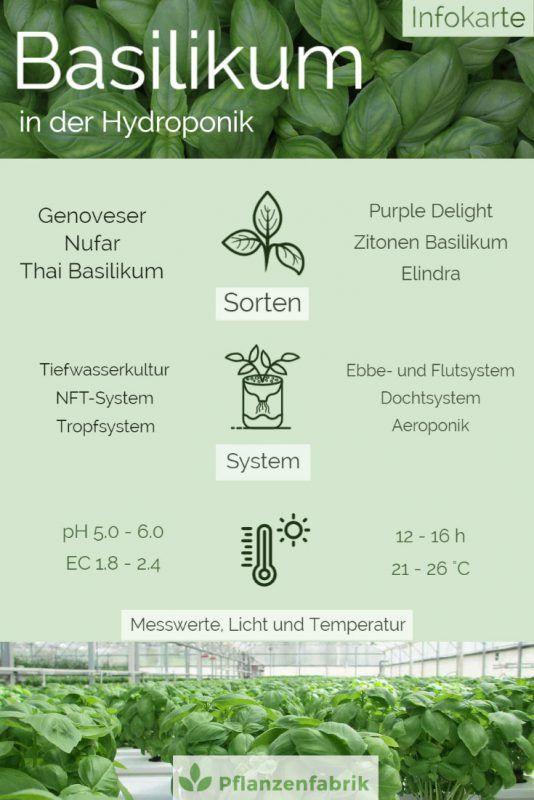Informationsgrafik über Basilikum in Hydroponik