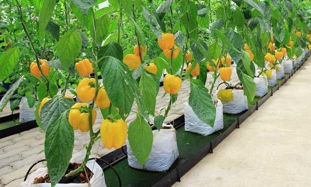 gelbe Paprika in Hydroponik Tropfsystem