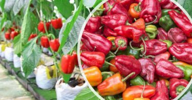 hydroponik hydrokultur paprika chili peperoni