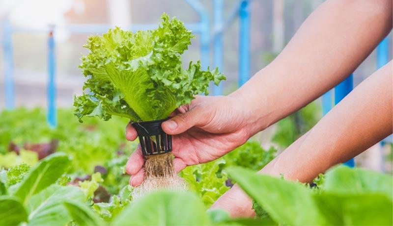 hydroponic bzw. hydroponics
