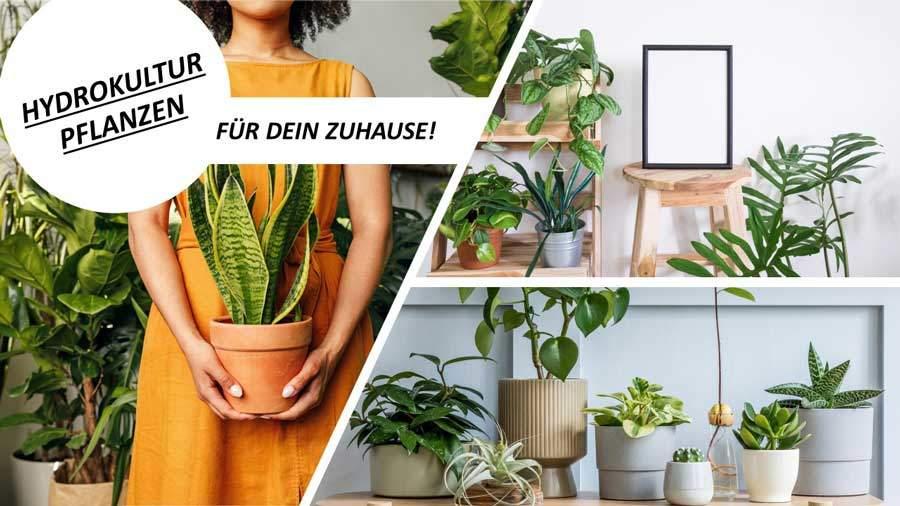 Hydrokultur Pflanzen