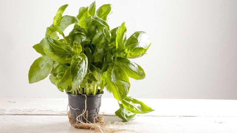 Netztopf für Nutzpflanzen