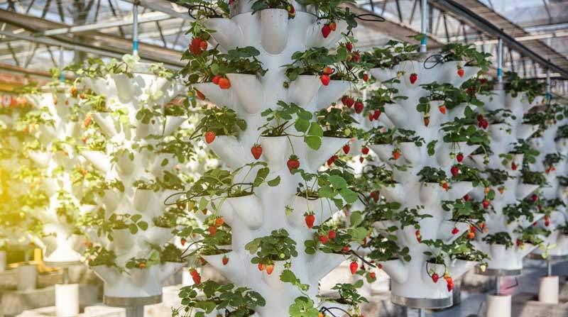 Vertical Farming System mit Erdbeeren