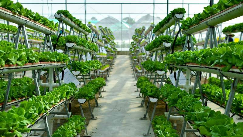 vertikale Farm im Gewächshaus